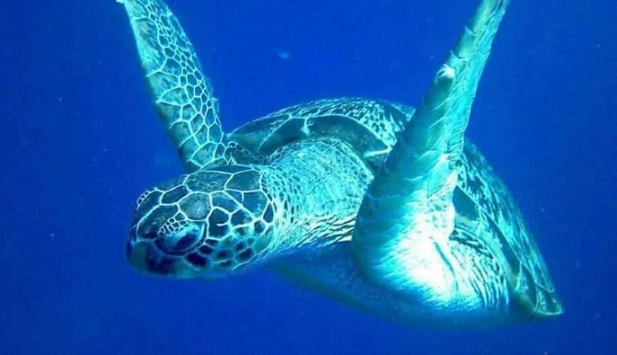 green marine turtle in zanzibar