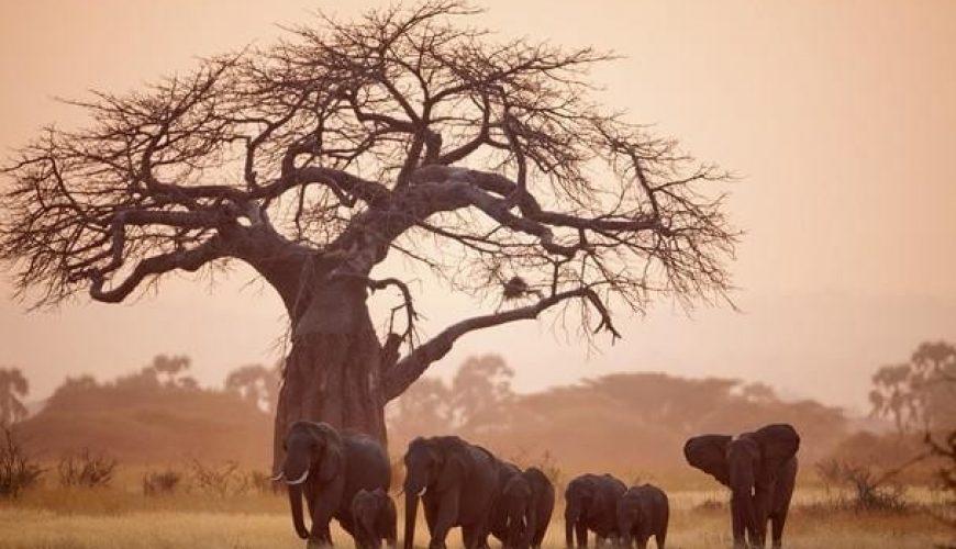 baobab with elephants