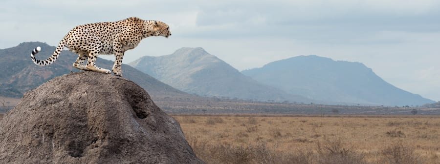 Tanzania, cheetah in serengeti plains