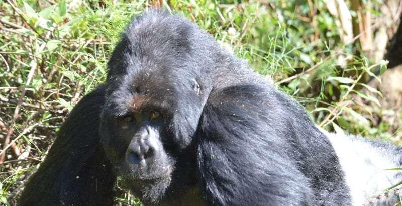 Gorilla in uganda impenetrable forest