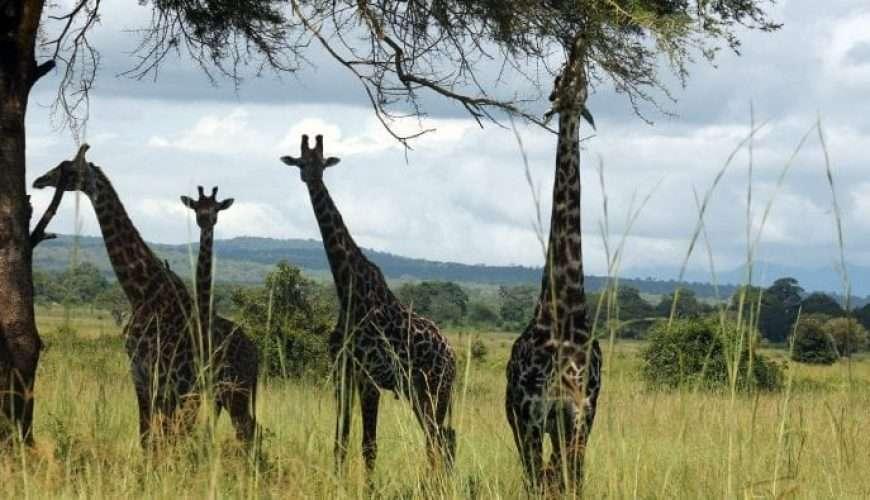 giraffe in mikumi national park tanzania safari