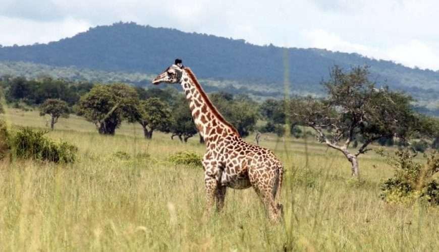 lonely giraffe in savanna africa safari
