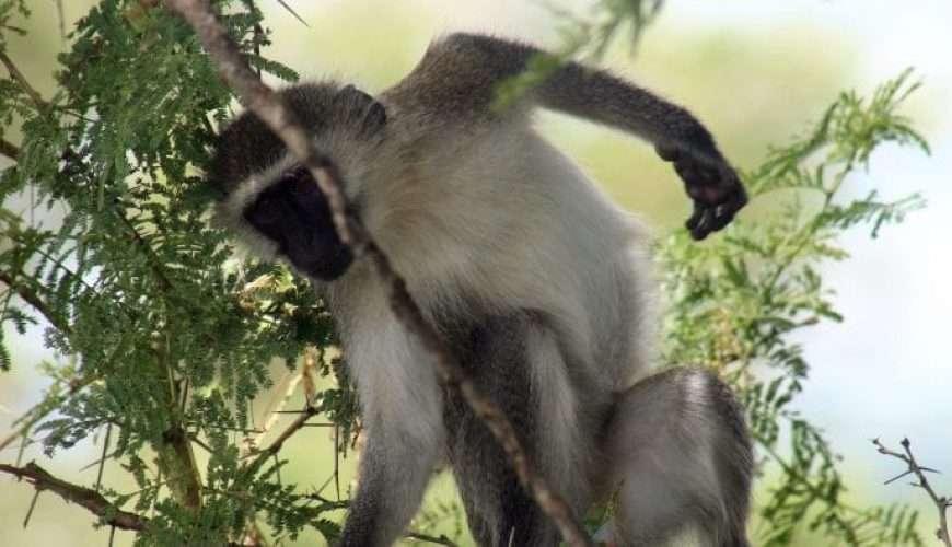 udzungwa monkey africa safari