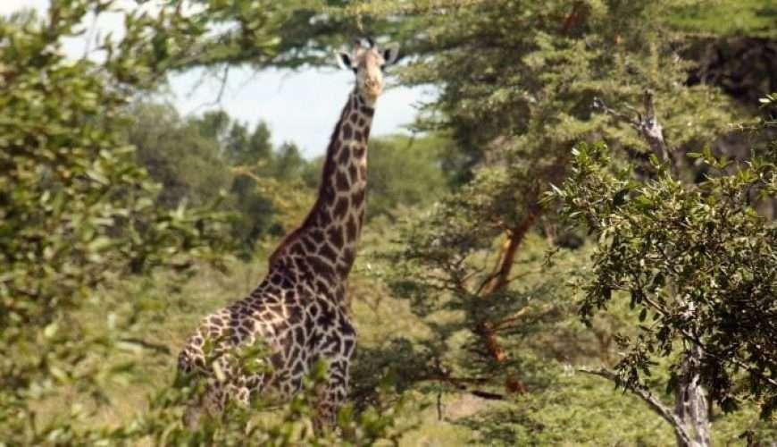 selous safari giraffe