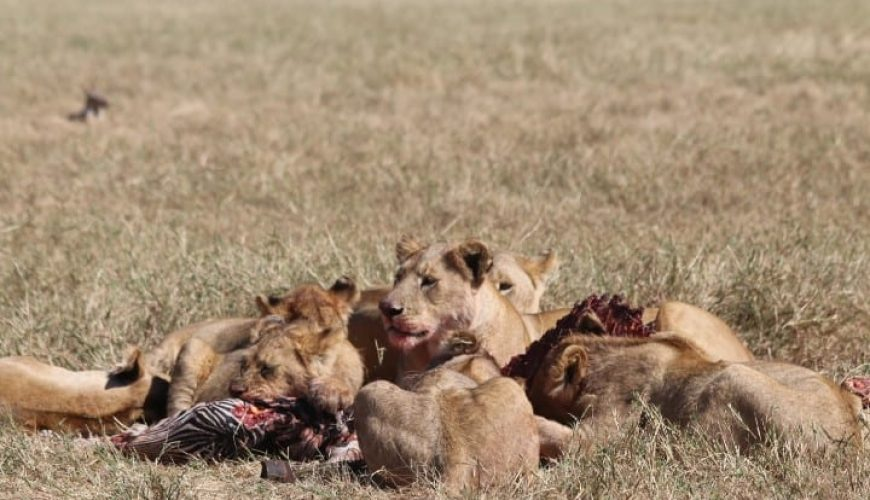 Lions eating a prey in african savannah tanzania safari