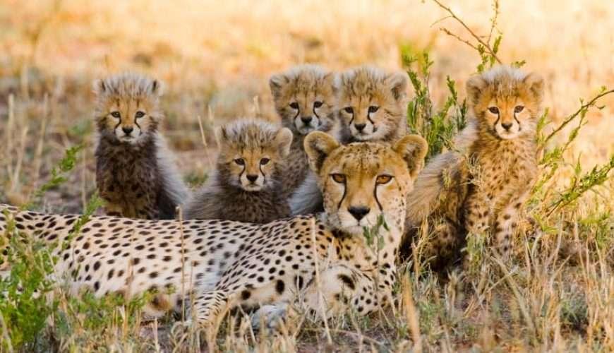cheetah's family safari cub africa wildlife national park