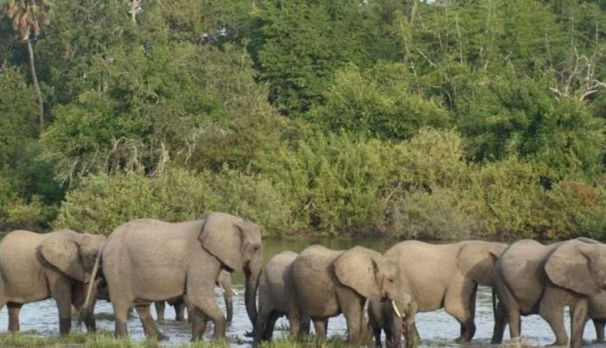 elephants crossing river in selous