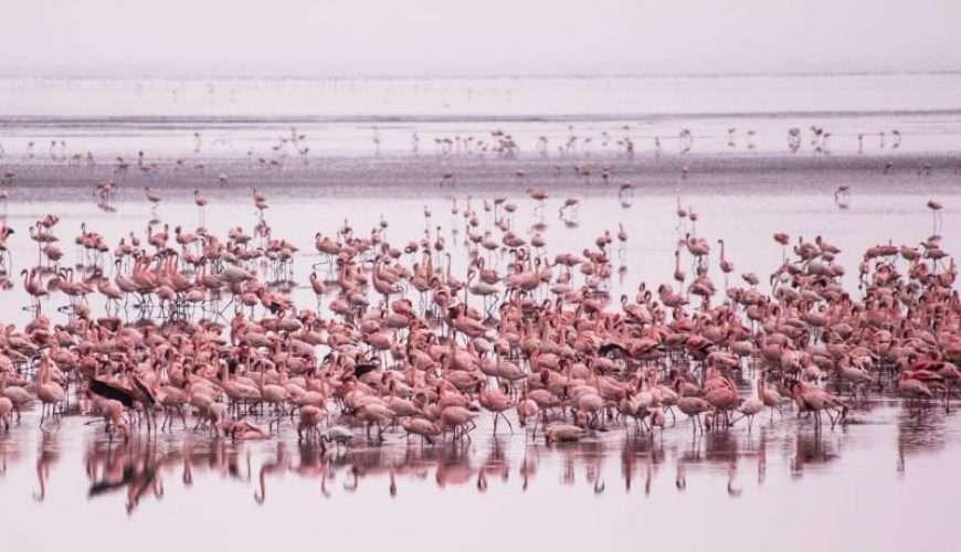 pink flamingo lake manyara tanzania africa safari