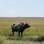 buffalo in african plains safari