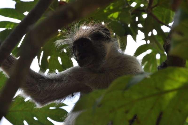 zanzibar jozani forest red colobus monkey (14)