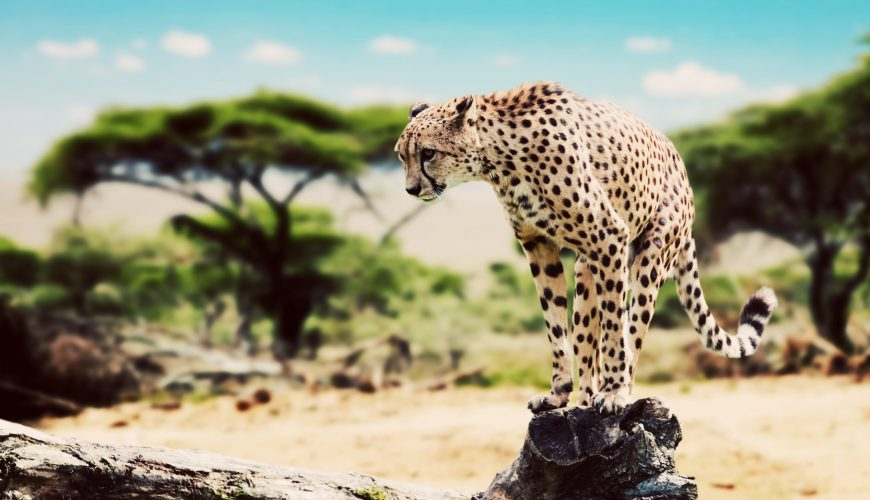 A wild cheetah about to attack, hunt, sitting on a dead tree. Safari in Serengeti, Tanzania, Africa.jpg
