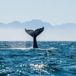 Seascape with Whale tail. The humpback whale (Megaptera novaeangliae) tail dripping with water in False Bay off the Southern Africa Coast