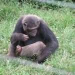 jadevine travel nagamba island chimpanzee trekking orphanage chimps safari (5)