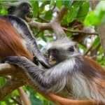 zanpleasure jozani forest zanzibar (11)