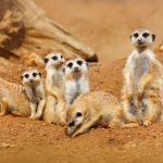 Funny image from African nature. Cute Meerkats, Suricata suricatta, sitting in the sand desert. Meerkat from Namibia, Africa