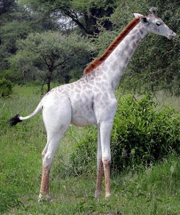 omo white giraffe tarangire national park tanzania africa safari (1)
