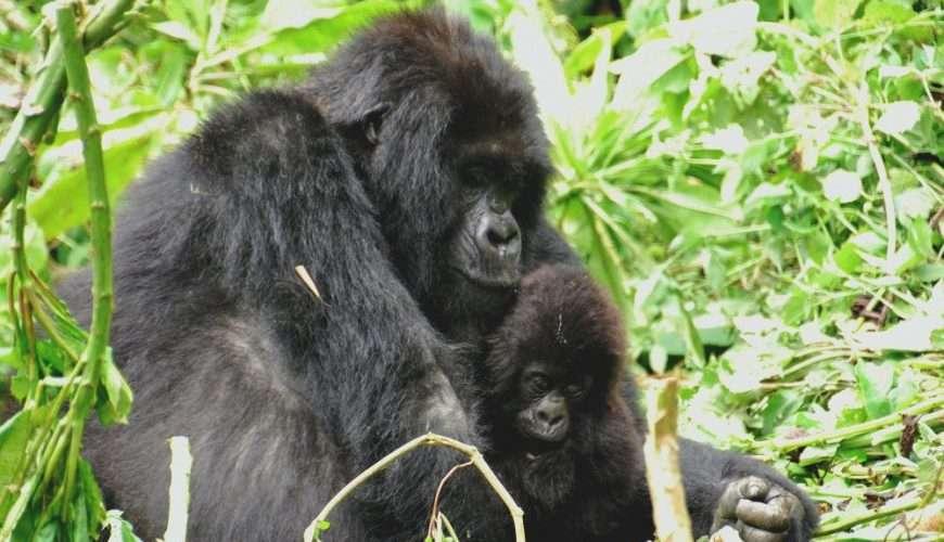 gorilla evid Uganda