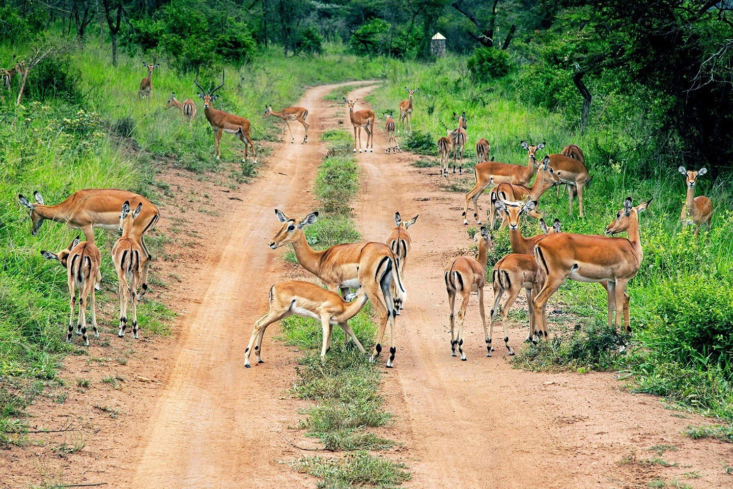 Drive to Kidepo Valley National park and have a game drive