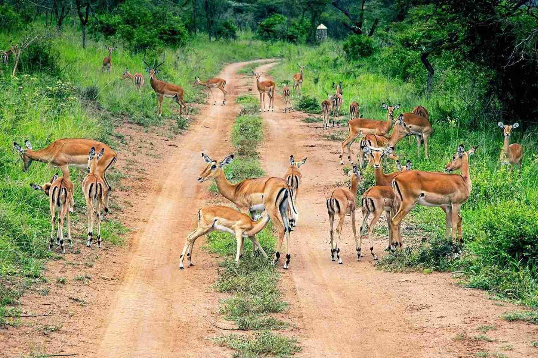 Game drive in Ishasha, drive to Bwindi