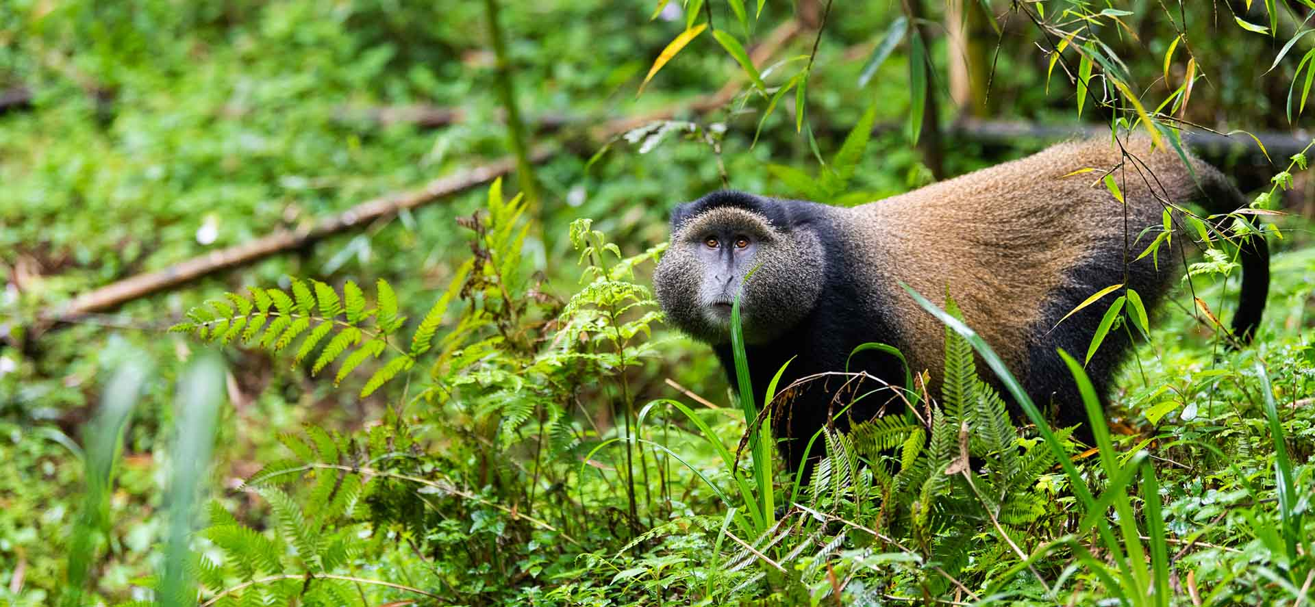 Undertake golden monkey trekking and community visit