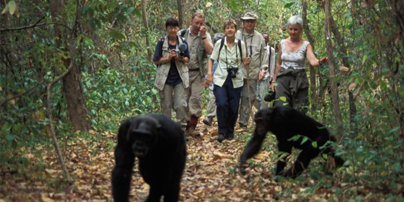 Chimps trekking and the canopy walk experience