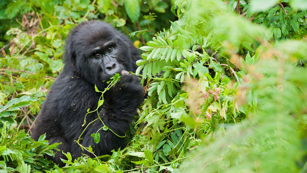 Gorilla trekking day- Mgahinga National Park