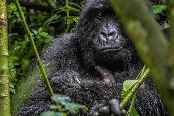 gorilla trek 1