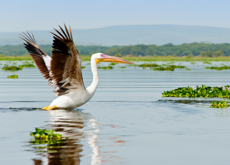A Pelican, Kenya