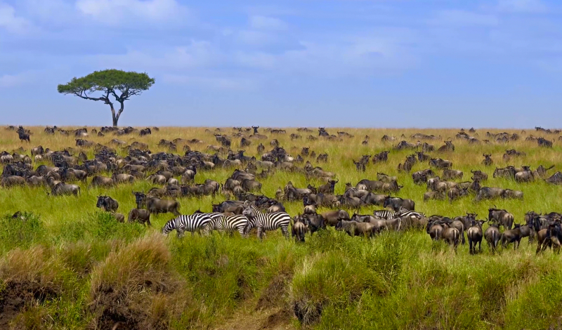 Big herd of wildebeest in the savannah. Great Migration. Kenya. Tanzania. Masai Mara National Park