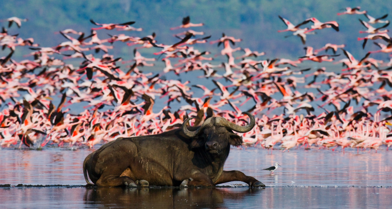Buffalo lying in the water on the background of big flocks of flamingos. Kenya. Africa. Nakuru National Park. Lake Bogoria National Reserve. An excellent illustration