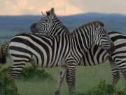 zebra with sunset