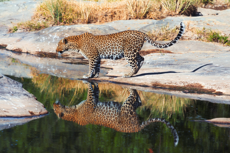 Female leopard at a river bank with reflection of its body in Masai Mara, Kenya