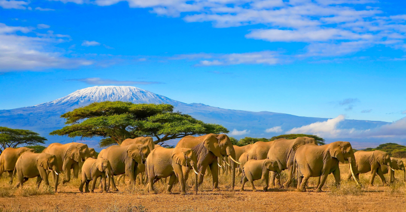 Herd of african elephants on a safari trip to Kenya and a snow capped Kilimanjaro mountain in Tanzania in the background, under a cloudy blue skies