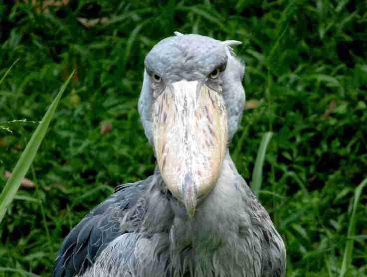 uganda birds 002