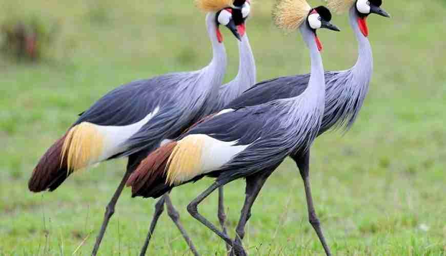 uganda birdsEVID